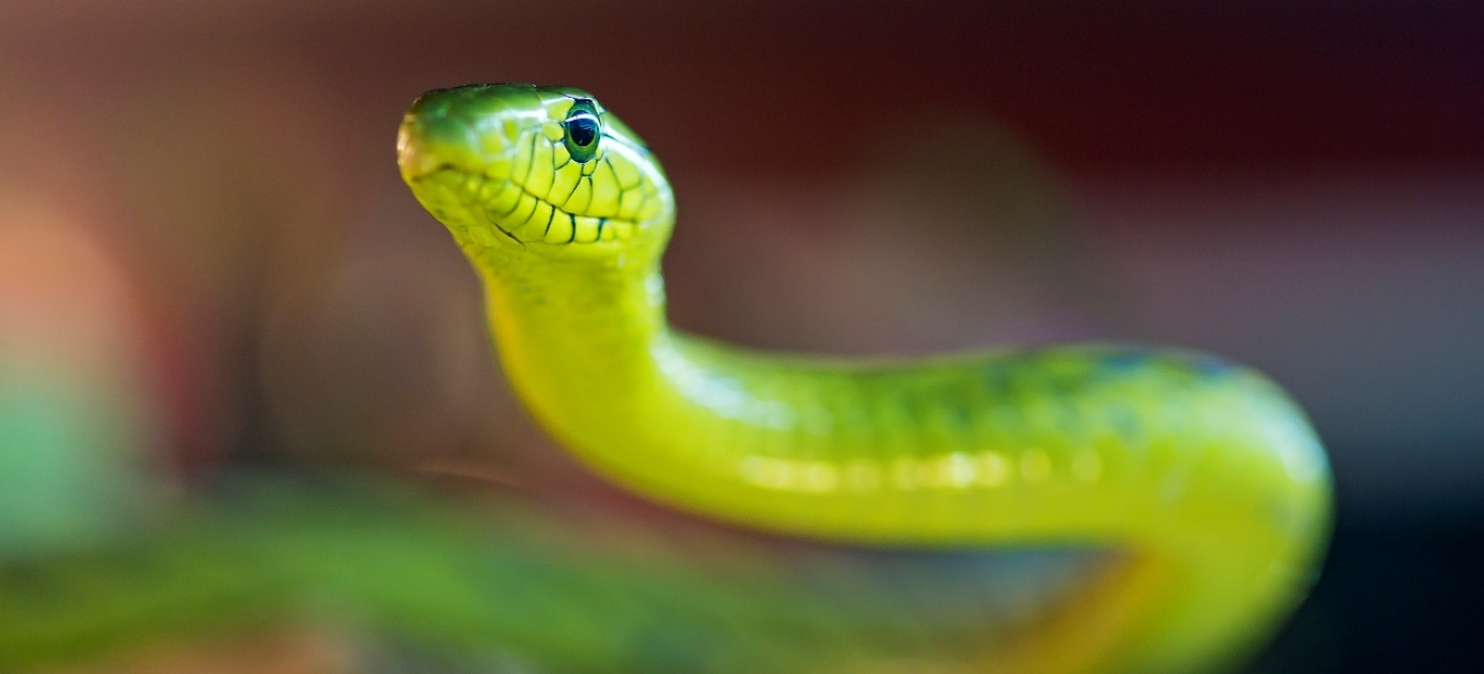 продам змею мамбу